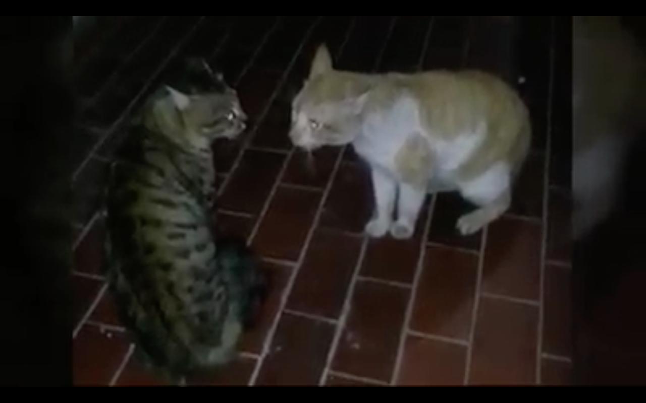 kucing-berantem